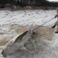 Haaien bezwijken onder extreme kou in VS