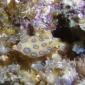 Wendy Versluis - Blauwgeringde octopus