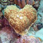 Hartvormig koraal