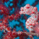Hippocampus bargibanti