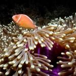 Bali anemoonkopie