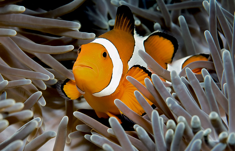 Eastern_Clownfish