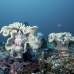 Scorpionfish_in_coral